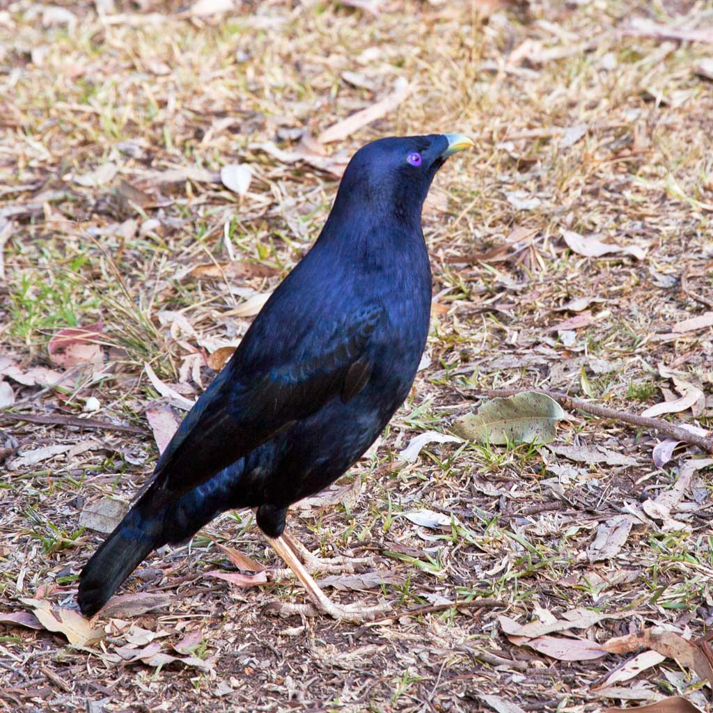 12-Male-Satin-Bowerbird