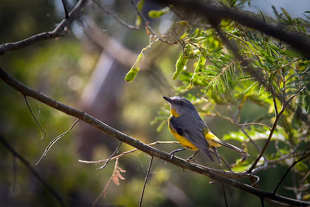 11-Eastern-Yellow-Robin