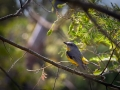 11-Eastern-Yellow-Robin