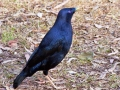 12-Male-Satin-Bowerbird