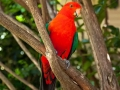 13-King-Parrot