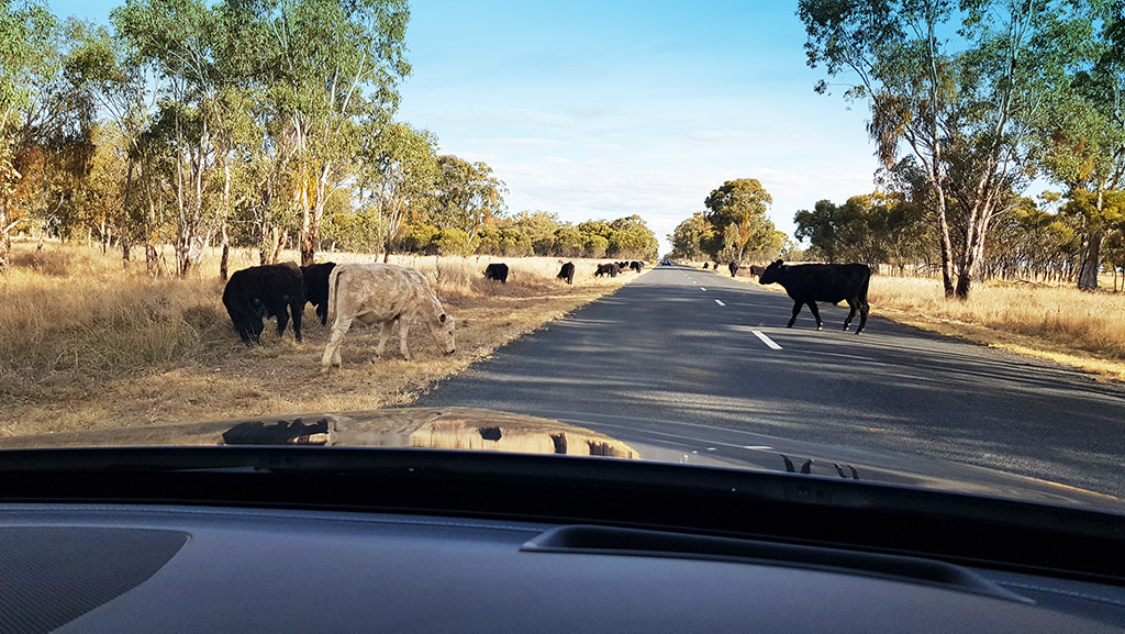 alex-cows-on the-road